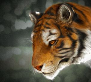 转载:老虎一只