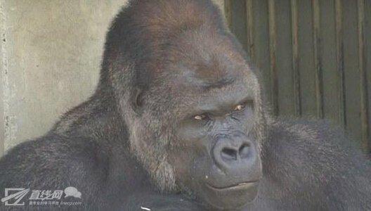 日本新一代国民男神诞生 竟然是只大猩猩!哈哈