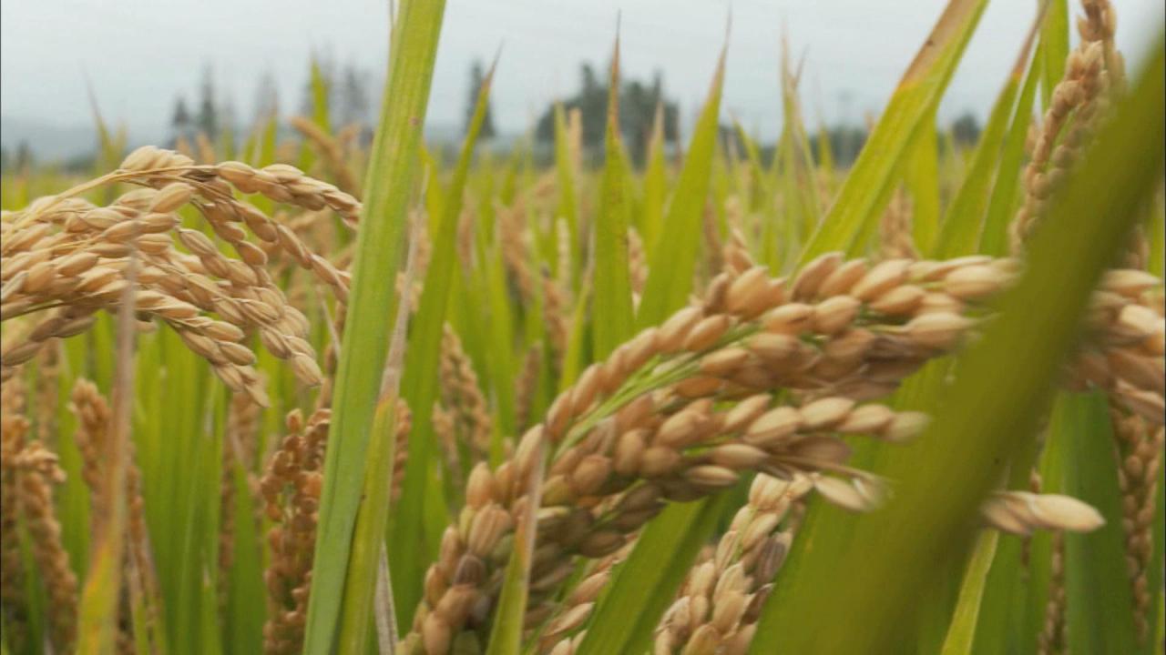 秋天的稻穗 金黄色的 稻子 稻米 稻花 农田 丰收 水彩效果 水粉效果   宽1024x595高   显示比例:93%