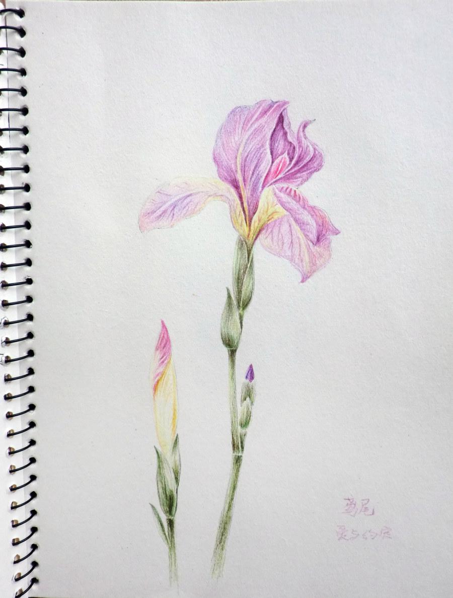 【原创】 【转载:彩色铅笔手绘画】  4 鲜花